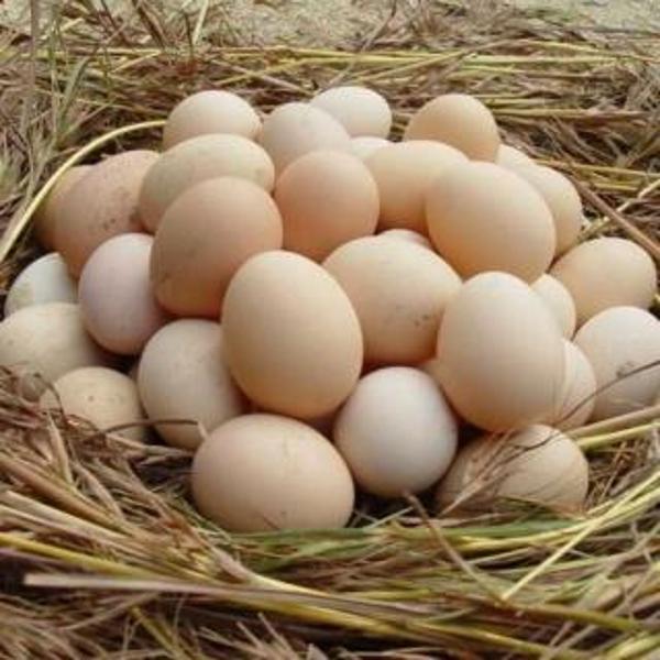 始祖山柴鸡蛋