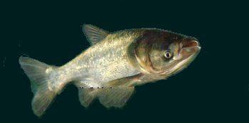 野猪湖胖头鱼