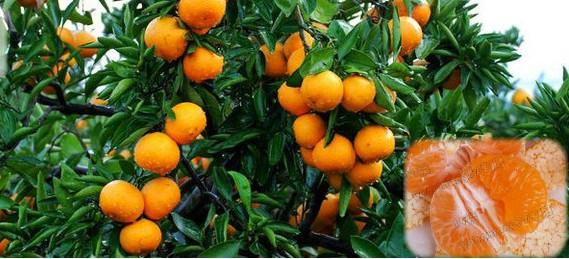 无核早熟柑橘