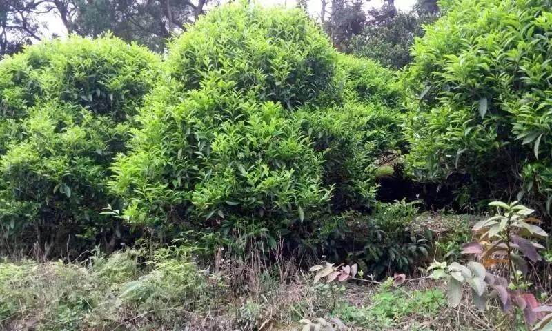 南澳后花园宋茶
