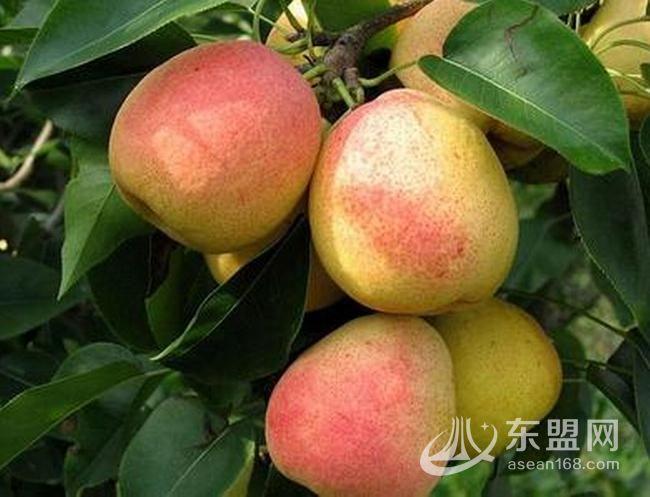 南丹瑶山红梨