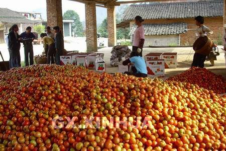 永福西红柿