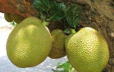 涠洲木菠萝