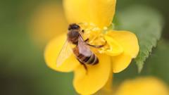 南川金佛山中华蜜蜂