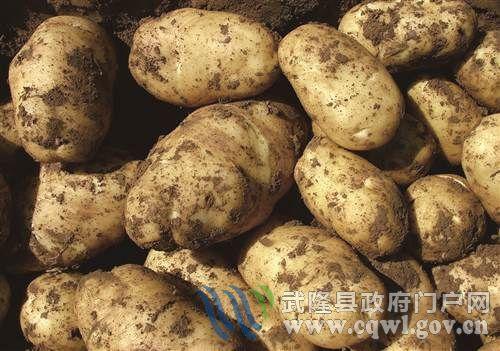 武隆高山马铃薯