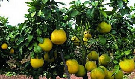 遂宁矮晚柚