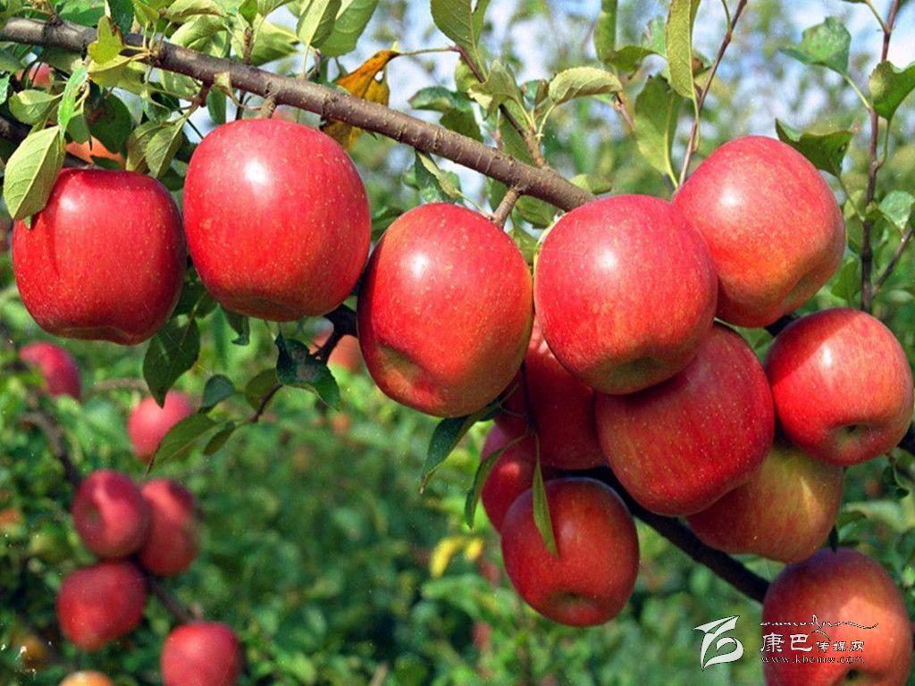 巴塘小冬红苹果