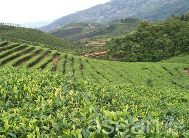马关县气候类型跨北热带,南亚热带,中亚热带和北亚热带,适宜茶叶生长.