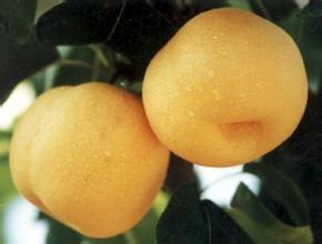 靖远香水梨