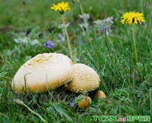 草原黄蘑菇