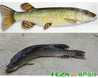 北屯白斑狗鱼