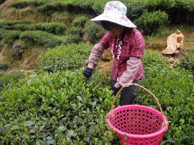 正宗河源坳肚九连山生态绿茶/春茶/清明茶