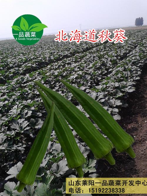 北海道秋葵种子浓绿品种
