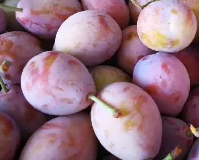 西梅新品种苗木