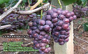 潍坊临朐县辛寨镇做罐头用巨峰葡萄